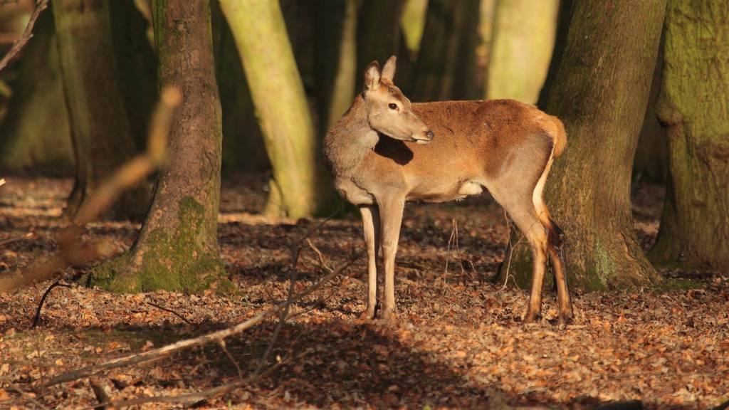 Deer at Wollaton Park