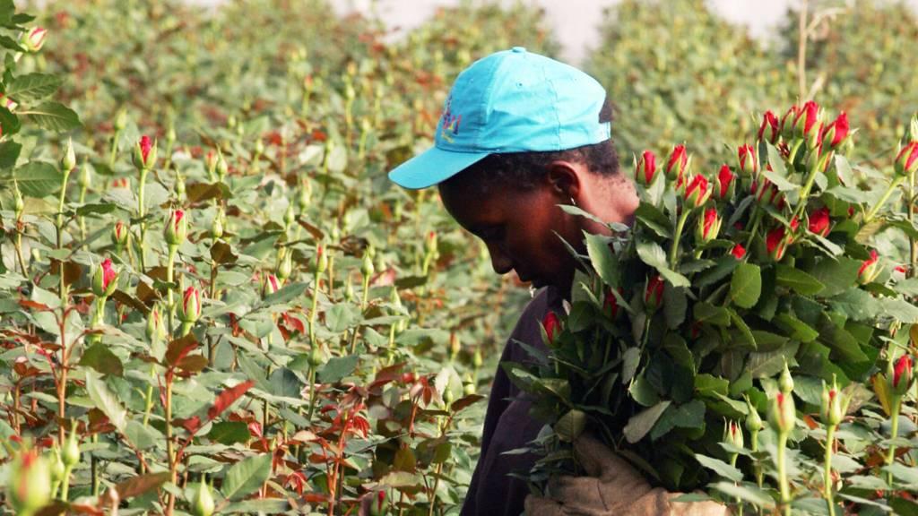A Kenyan worker picking roses