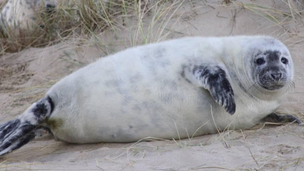 Seal pup at Horsey