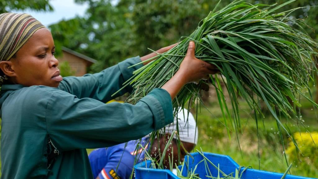 Worker washing lemongrass used for herbal tea in an organic farm, Bunjako, Central Region, Uganda