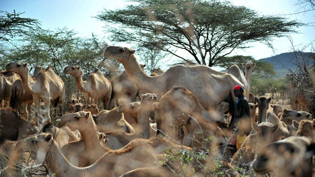Camels in Kenya - archive shot
