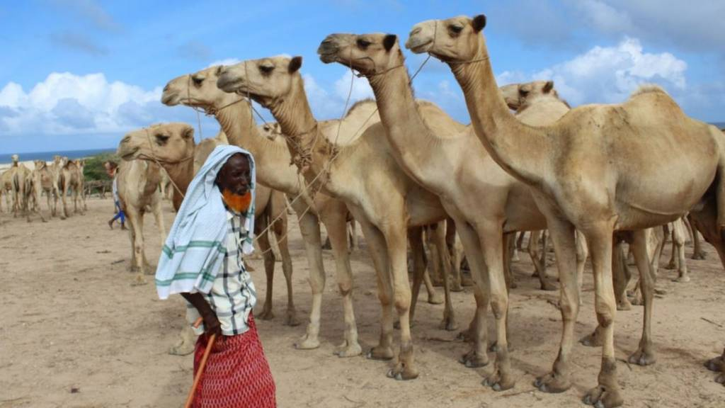 A herder with his camels