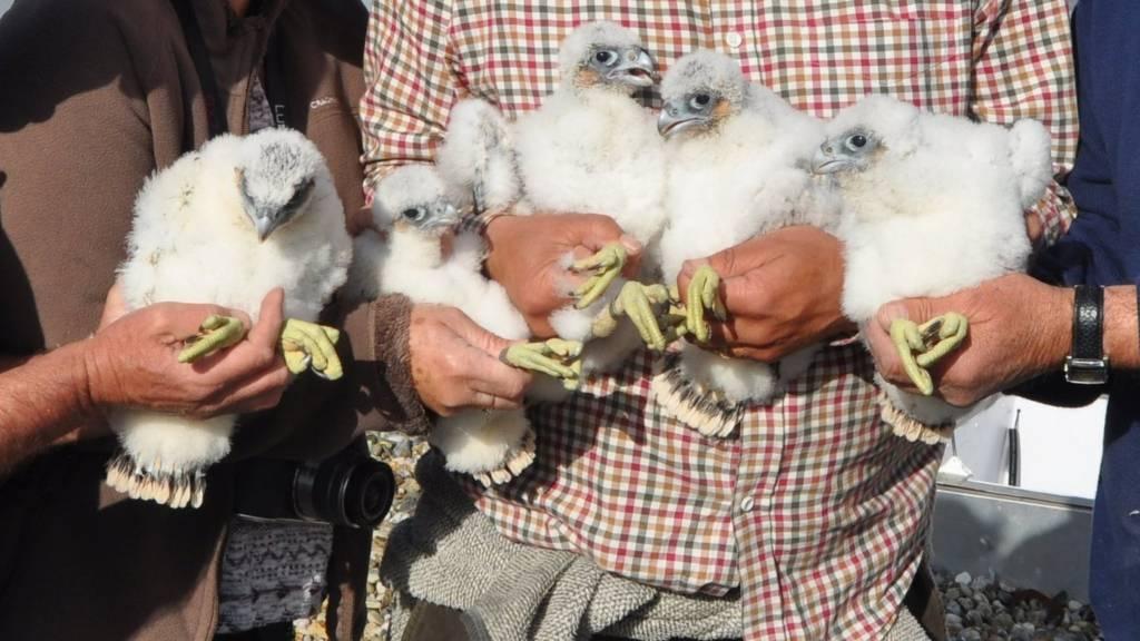 Peregrine chicks in Ipswich