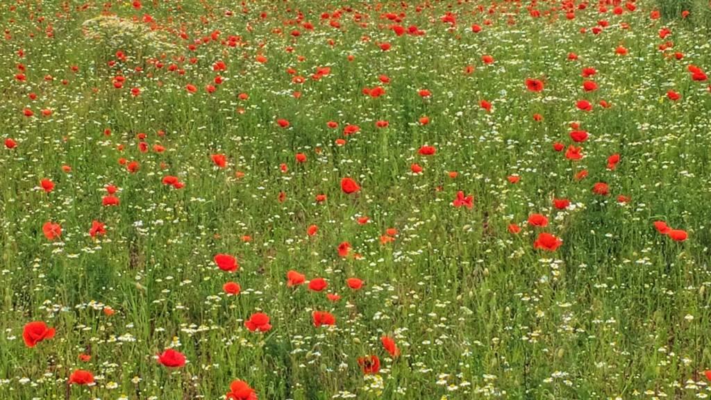 Poppies in Newbold Verdon