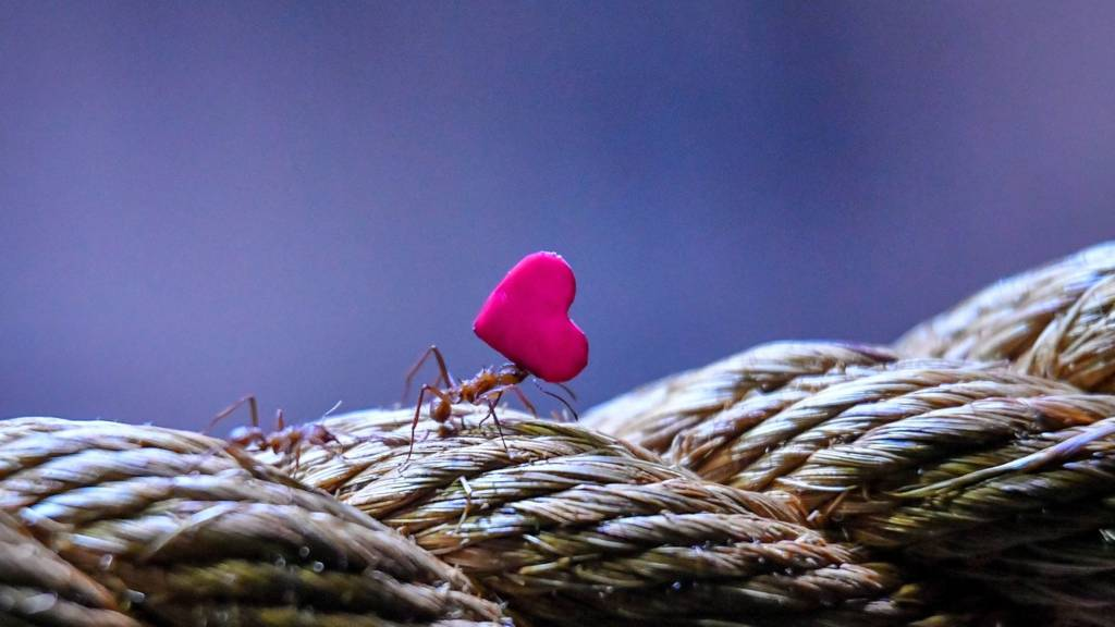 مورچه قلب
