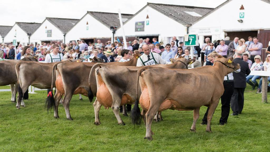 Cows at Great Yerkshire Show