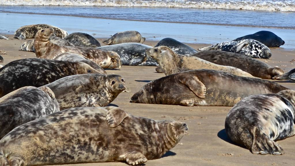 Seals at Winterton