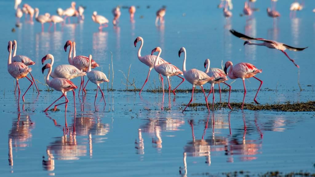 Lesser flamingo (Phoeniconaias minor) Lake Nakuru, Kenya.