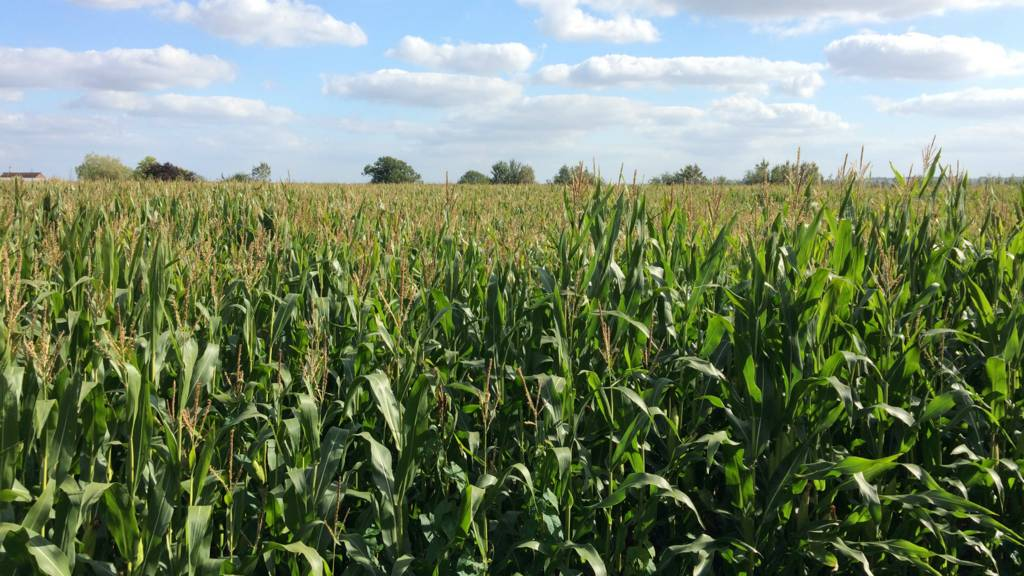Toddington corn field