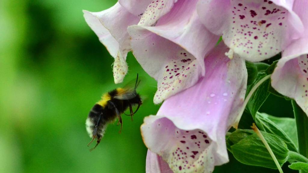 bees trying to feed on a soggy foxglove