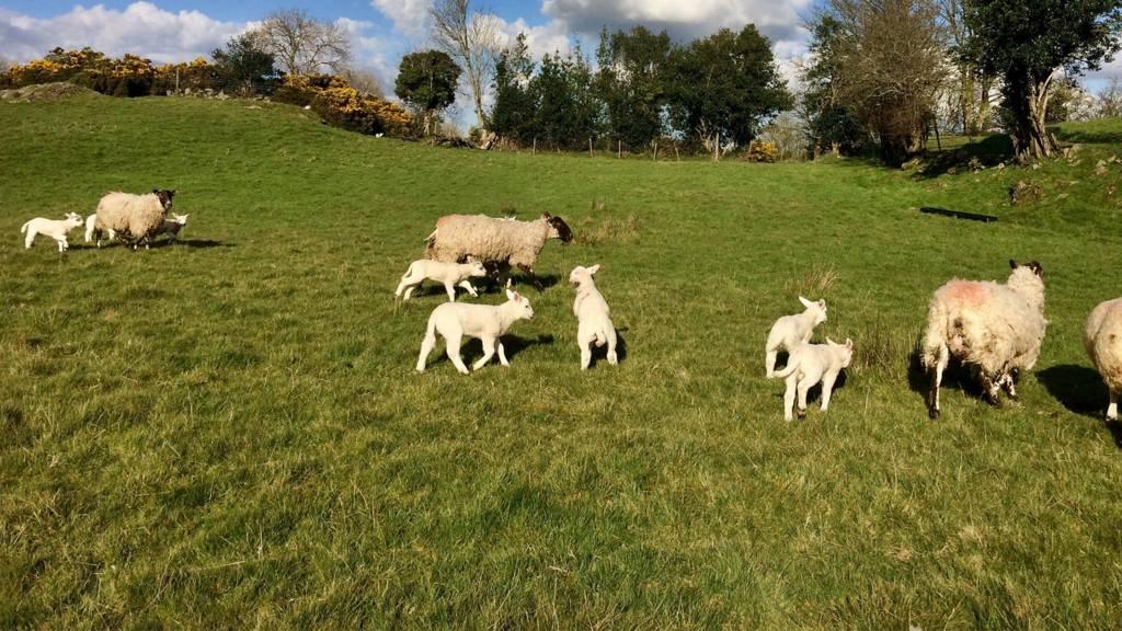 Annahilt lambs