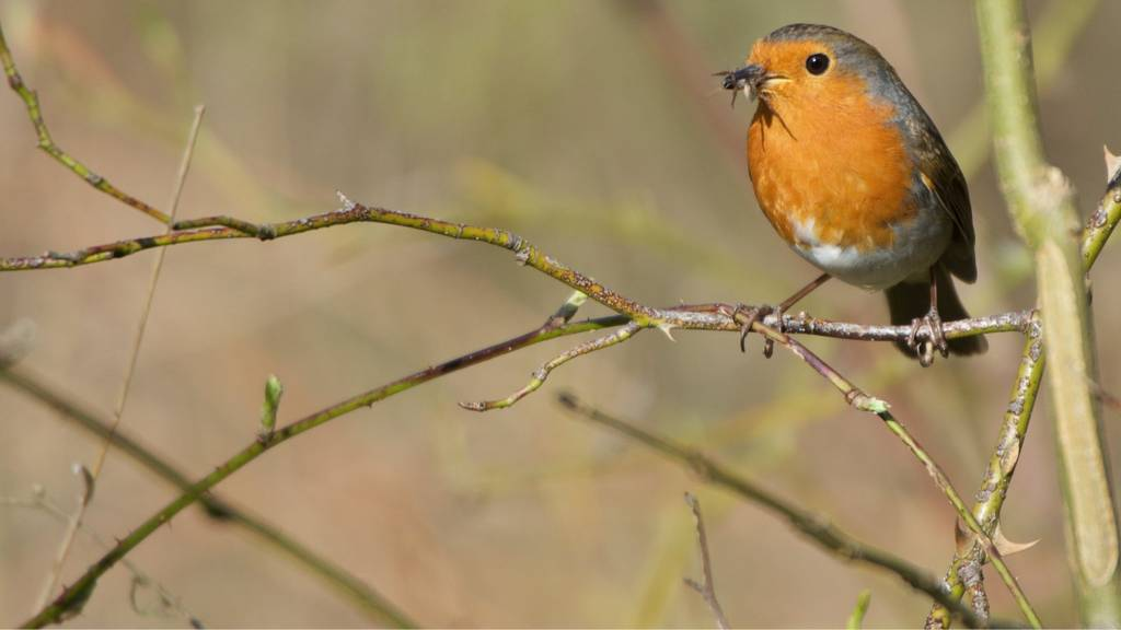 Robin in Charnwood