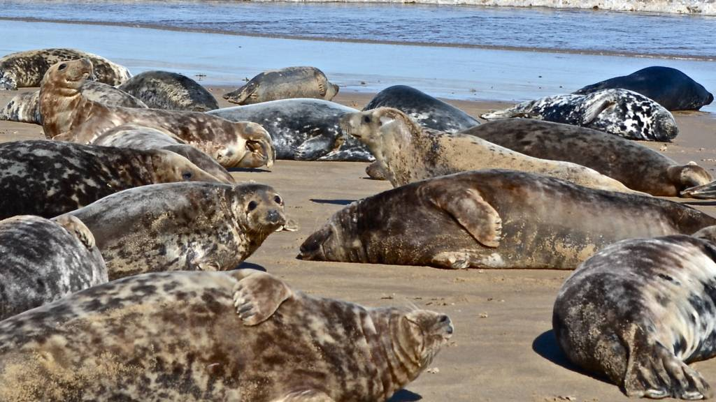 Seals at Winterton