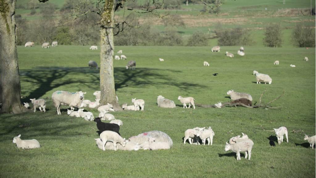 Sheep in Peak District