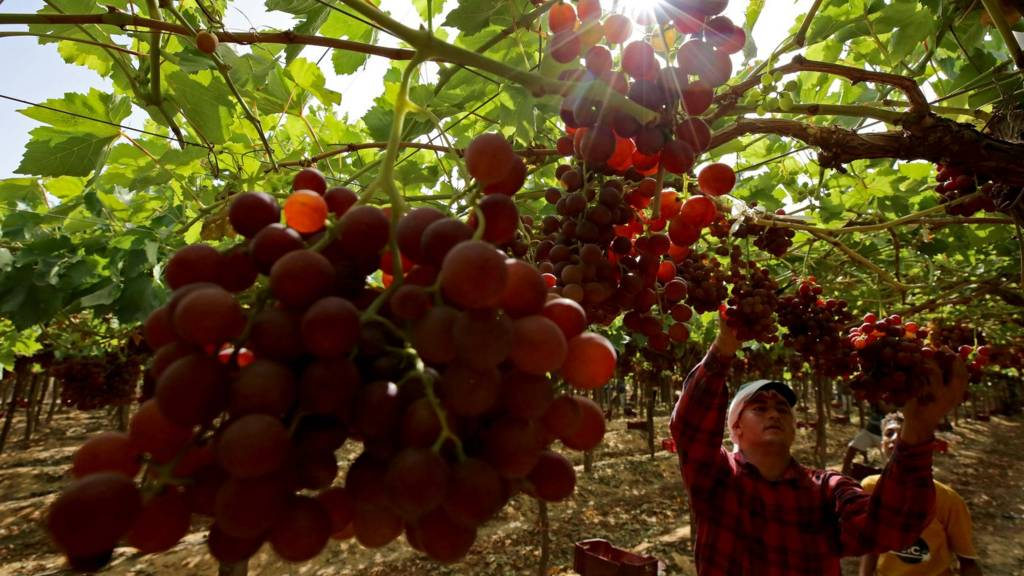 Workers collect harvested grapes in a grape field for export to Europe in Khatatba, Egypt, on June 1, 2021