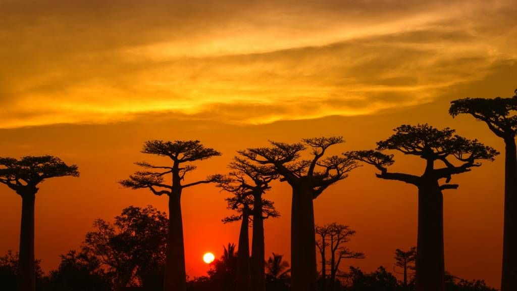 Silhouette of Baobab trees