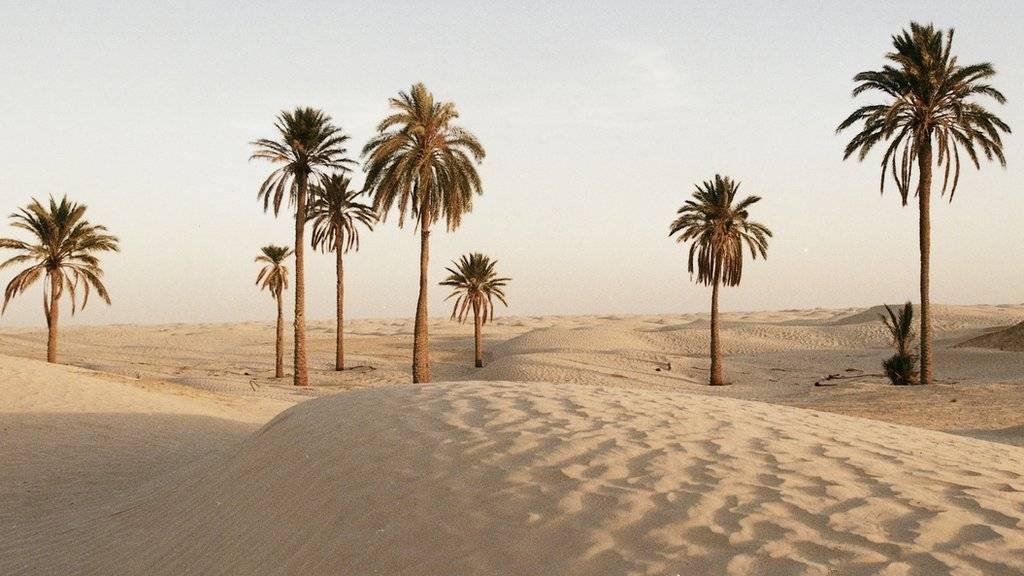 Palm trees in Tunisian desert