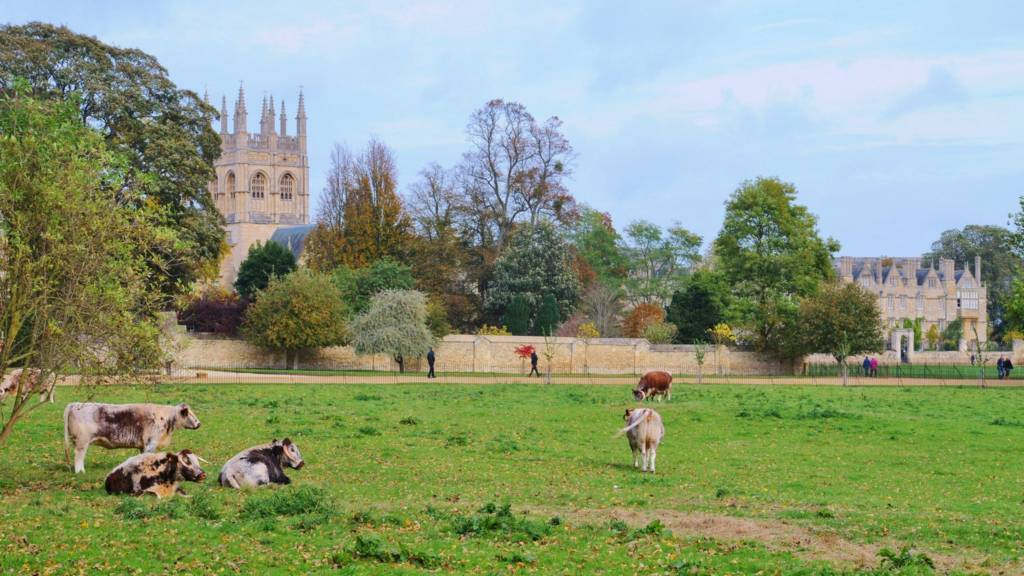 Cows in Oxford field