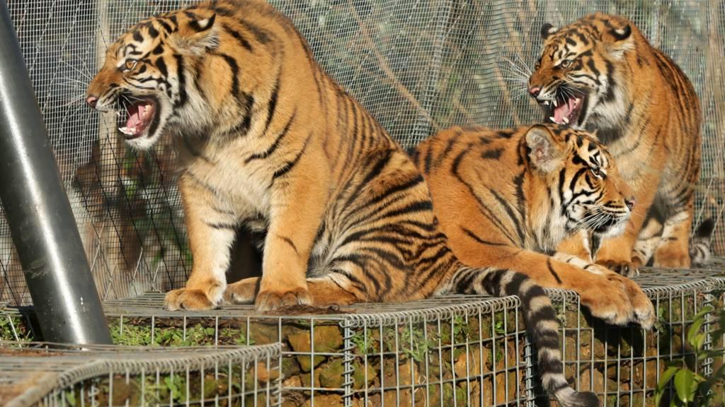 Sumatran tigers at London Zoo