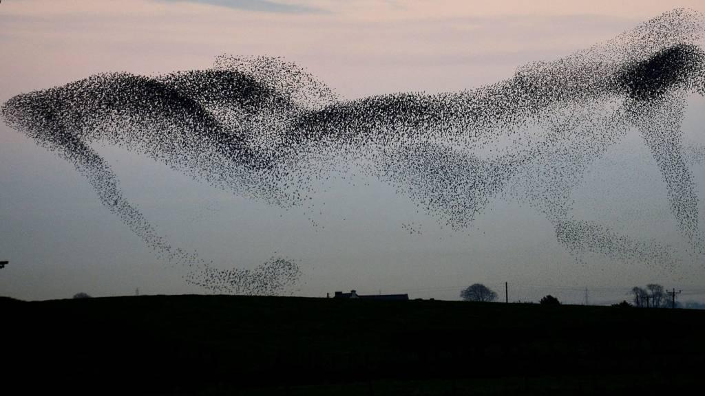 Murmuration of starlings above Rigg, Gretna