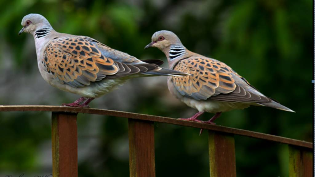 Turtle Doves in Old Newton