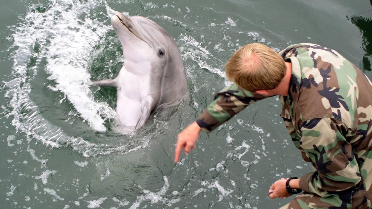 Military dolphin