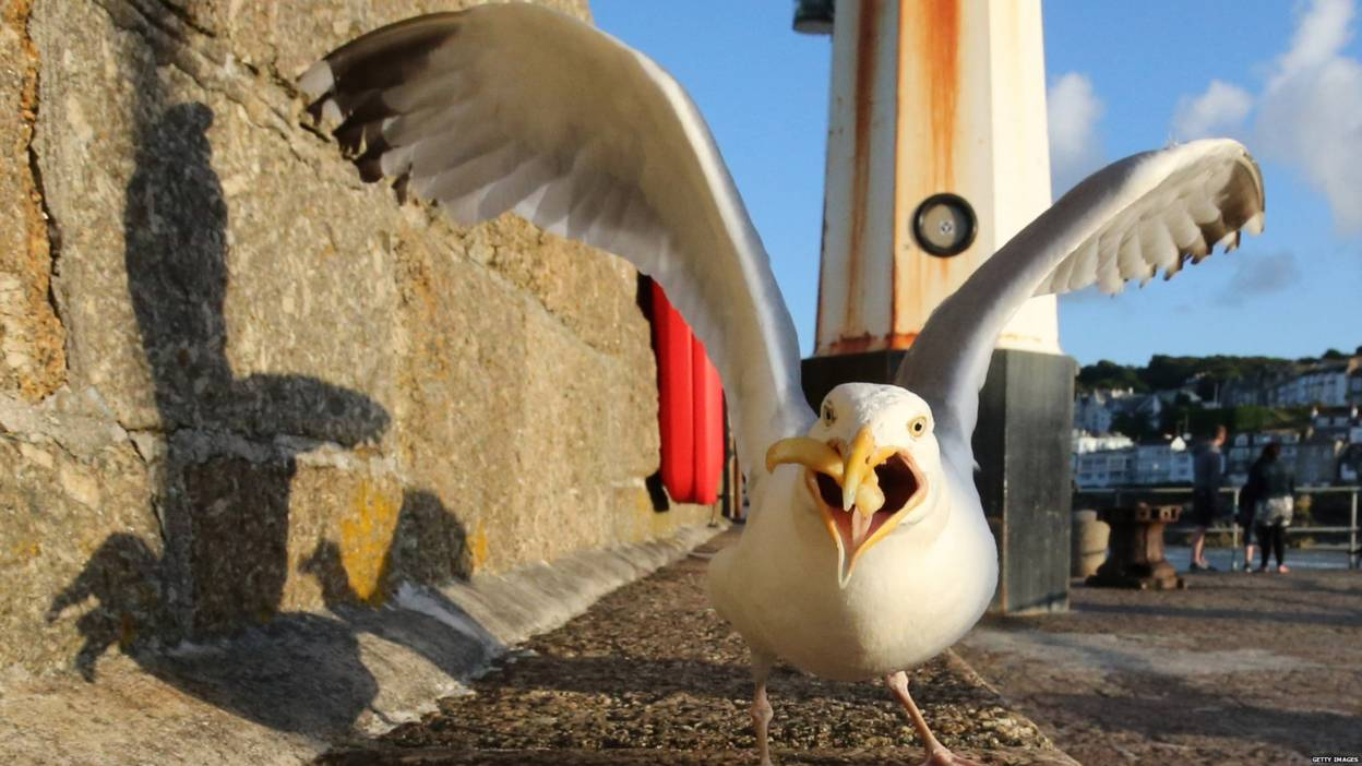 Seagull eats a chip