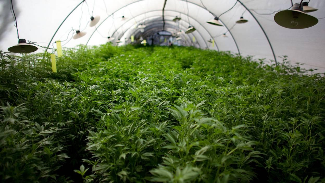 Israeli cannabis farm