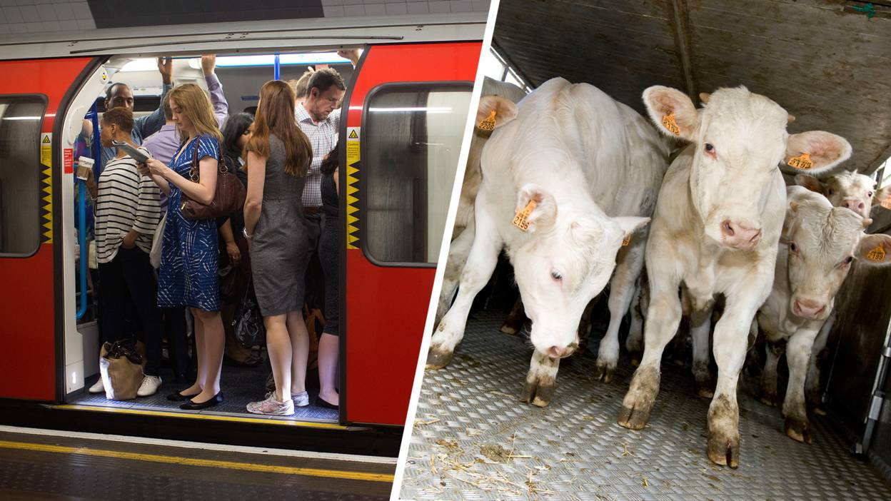 Cows and people on the tube