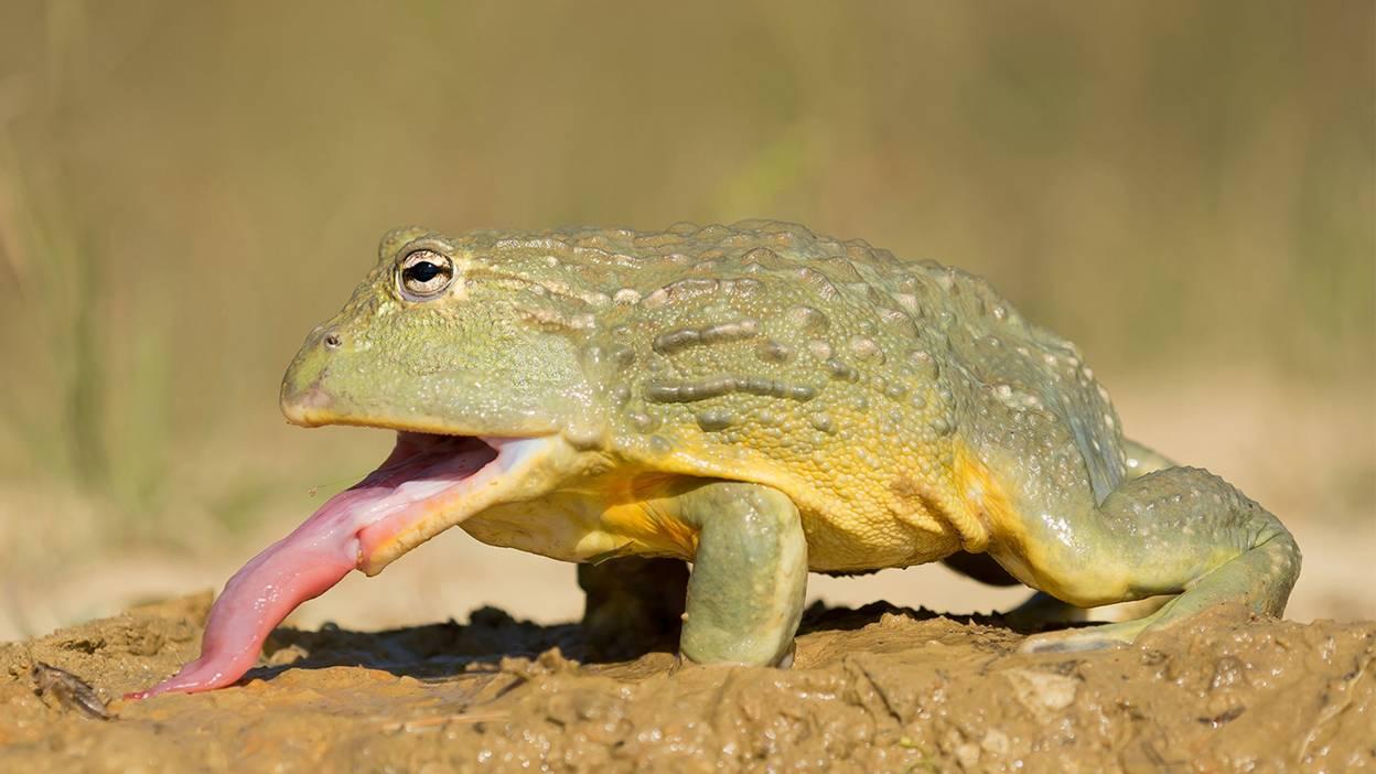 Namibian Bullfrog