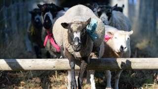 Sheep racing at Masham