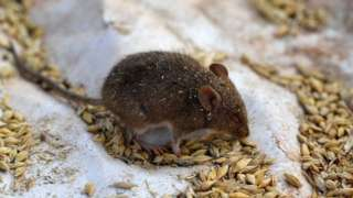 A mouse on a plastic sheet used as a trap on Terry Fishpool's farm in the New South Wales' agricultural town of Tottenham on 2 June 2021