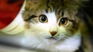A cat waiting to be adopted looks out of its cage at the Royal Society for the Prevention of Cruelty to Animals (RSPCA)