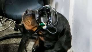 A Rottweiler is seen wearing a set of what look like ski goggles above its snout, with cabling running around its edges