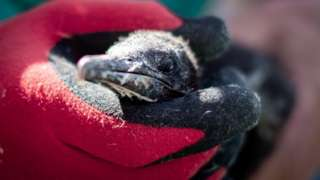 A rescuer handles a cormorant chick