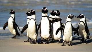 Afrika penguenlerinin sayılarının hızla azalması doğa koruma kurumlarını ve gruplarını kaygılandırıyor