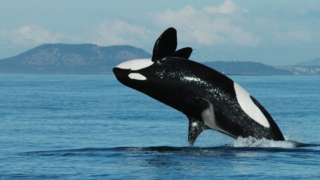 A killer whale breaches above bright blue water