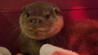 The rescued otter cub