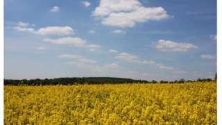 A field of rapseed