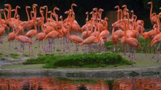 Flamingos at Slimbridge Wetland Centre in Gloucestershire
