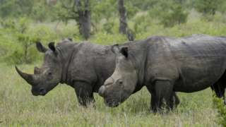 White rhinoceroses, one dehorned to protect it from poaching, in the Kruger Private Reserves area in the Northeast of South Africa
