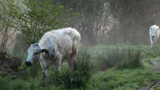 cows in woodland