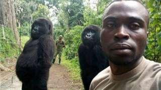 Na fotografiji se vidi da gorile pokušavaju da imitiraju ljude