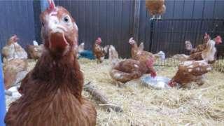 Cockerel at Margaret Green Animal Rescue Centre