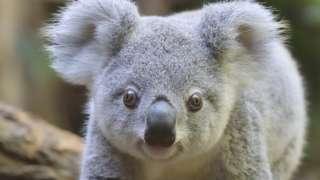 A koala