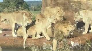 Lionesses attack lion