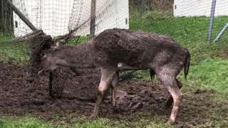 Deer stuck in cricket nets