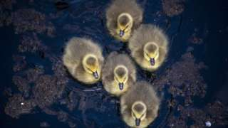 A group of newly-hatched goslings