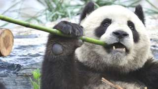 Džinovska panda