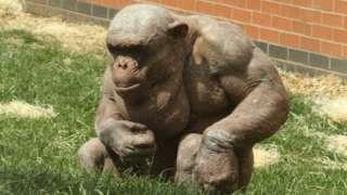 Hairless chimp Mongo
